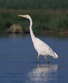 A Great Egret wading