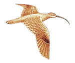 Curlew Drawing